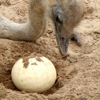 Ostrich and egg